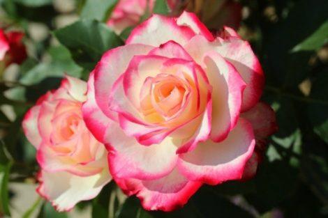 گل رز، تاریخچه و مفهوم آن