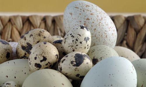 انواع تخم مرغ - 7ganj.ir