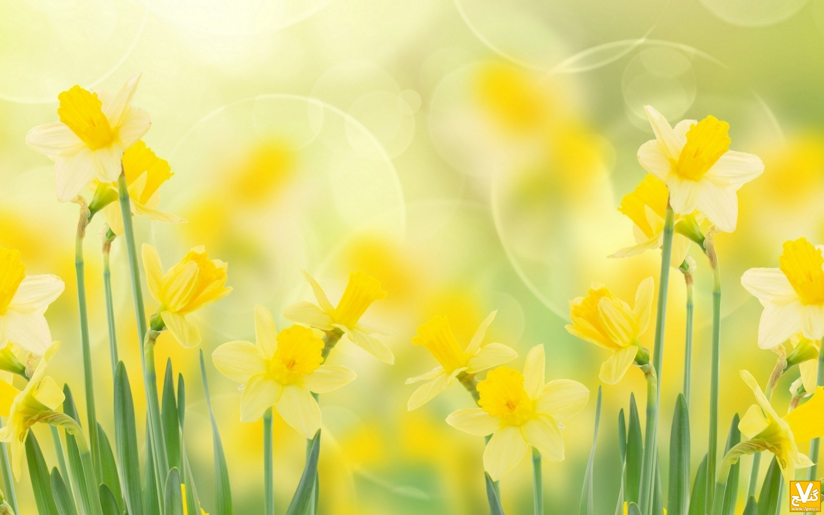 daffodils-spring-wallpaper-1680x1050