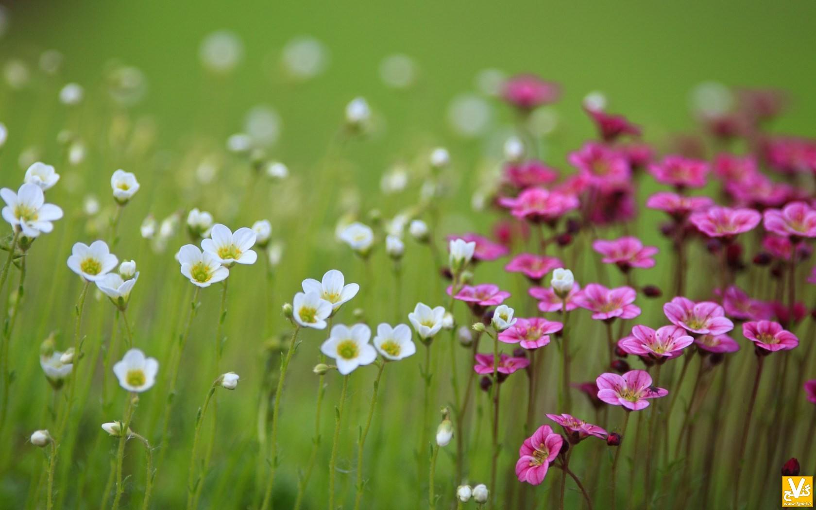 field-flowers-nature-bokeh-wallpaper-1680x1050