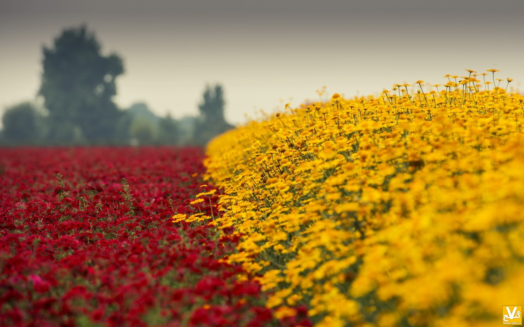 field-flowers-yellow-red-nature-wallpaper-1680x1050