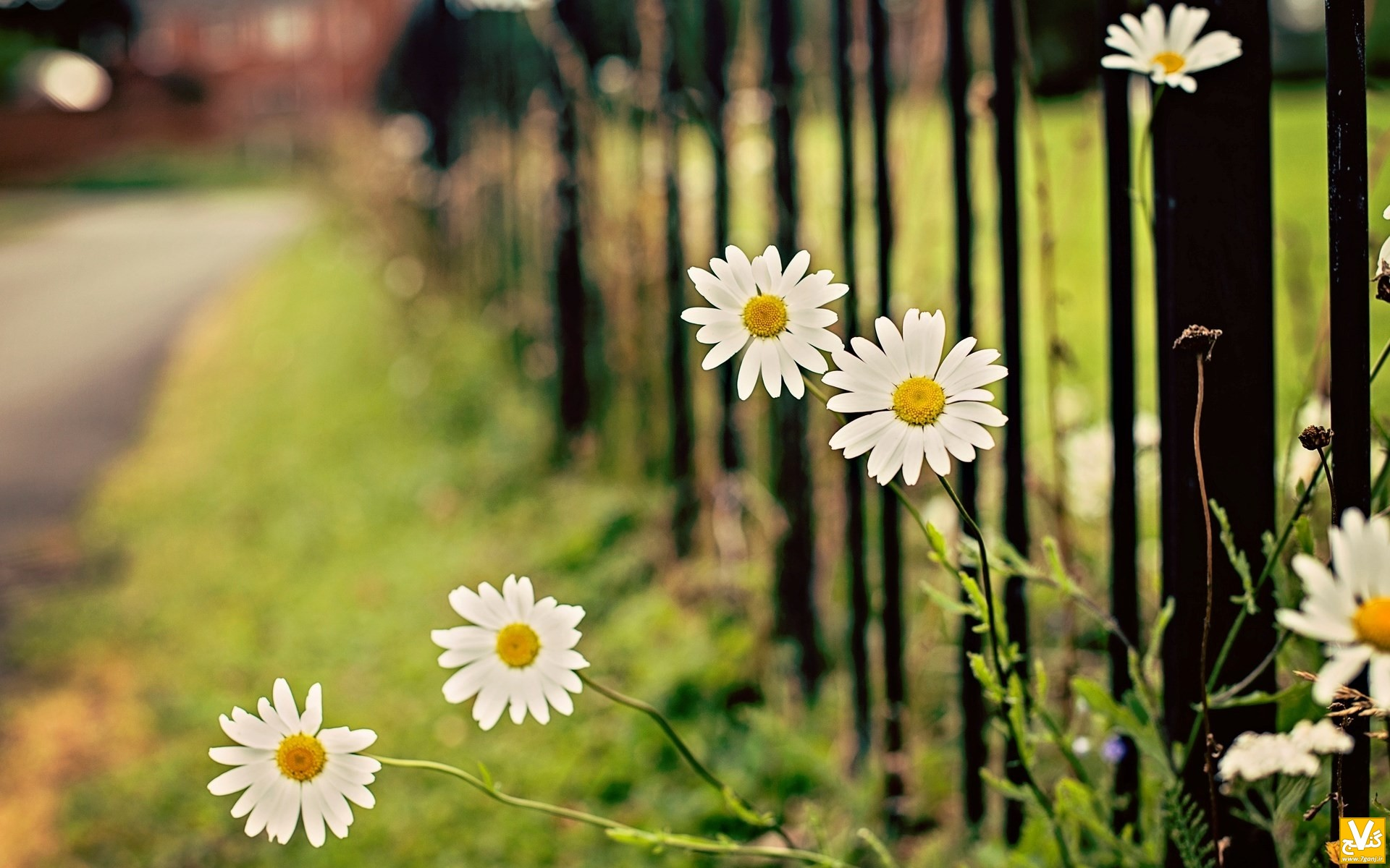flowers-chamomile-fence-wallpaper-1920x1200