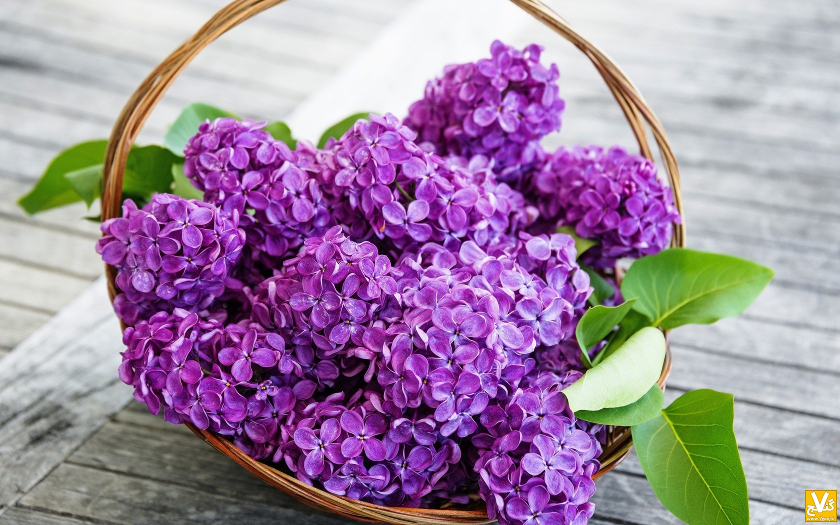 spring-lilac-flowers-purple-wallpaper-1680x1050