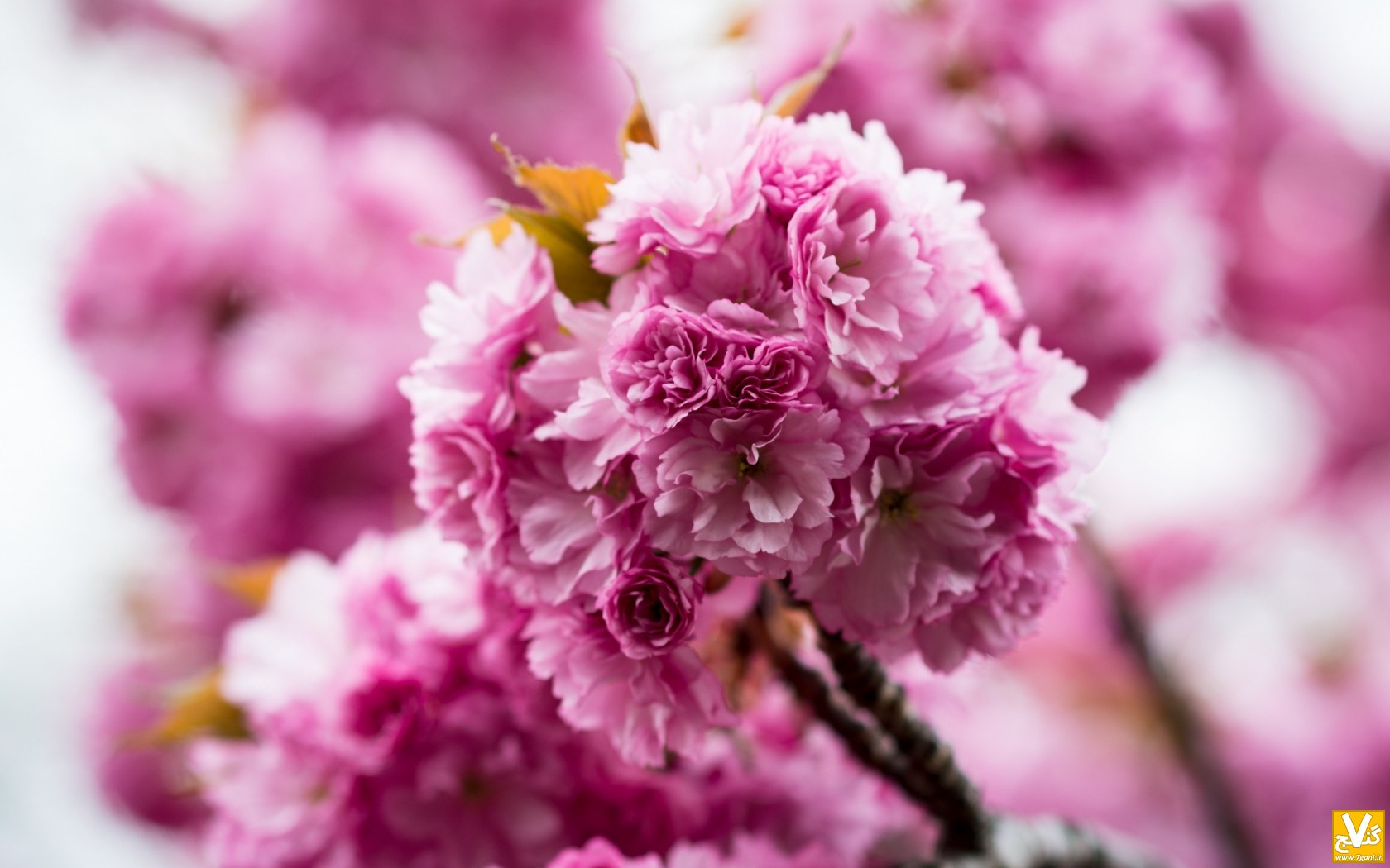 spring-pink-flowers-nature-wallpaper-1680x1050