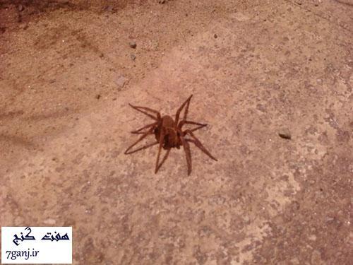 عنكبوت سرگردان برزيلي - حيوانات كوچك كشنده