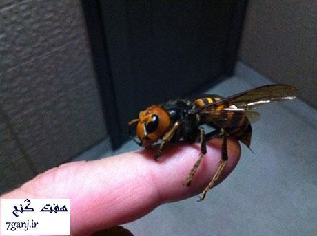 زنبور سرخ بزرگ ژاپنی- حيوانات كوچك كشنده