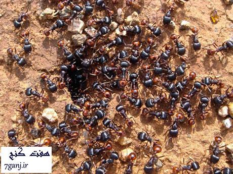 مورچه دروگر - حيوانات كشنده كوچك