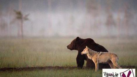 دوستي خرس نر قهوه ای و گرگ ماده خاکستری