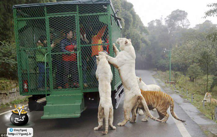 باغ وحش چینی Lehe Ledu، حیووانات آزاد و قفس برای آدم ها
