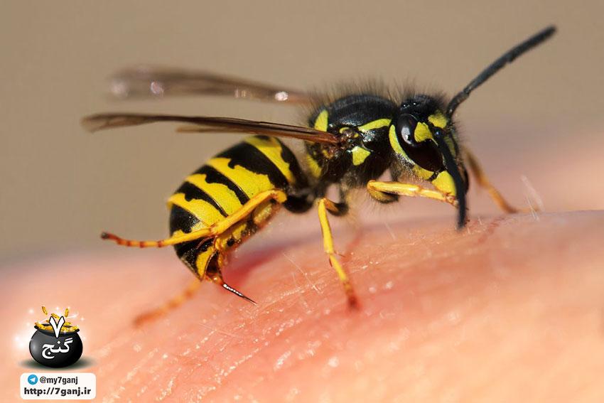 نیش زنبور زرد