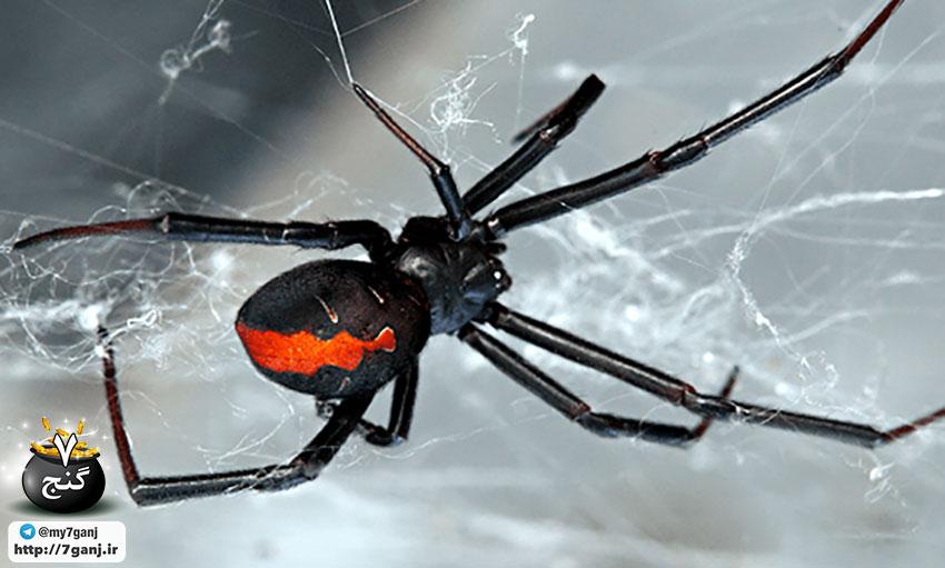 نیش عنکبوت