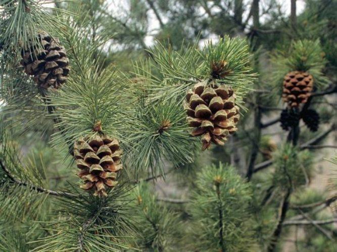 بلندی کاج چلغوزه بین 10 تا 20 متر است و معمولا دارای تاجی پهن و گسترده با شاخههایی راست و کشیده است