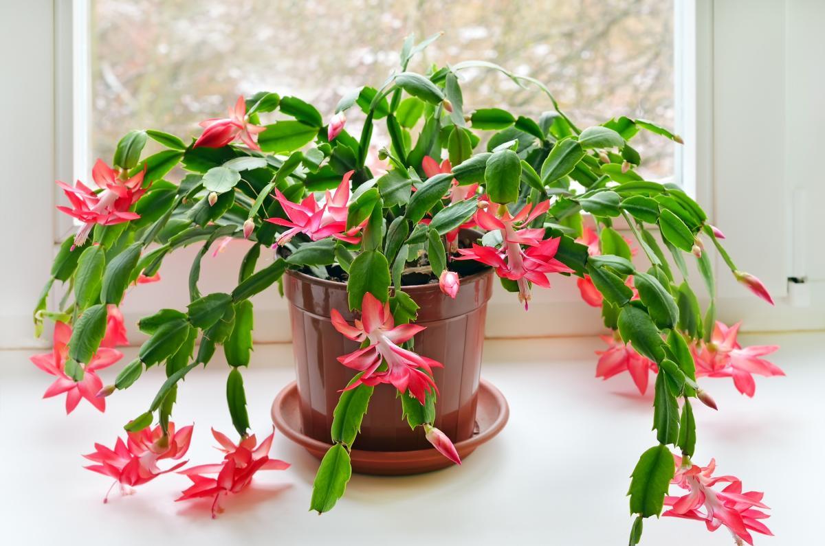 کاکتوس گلدانی